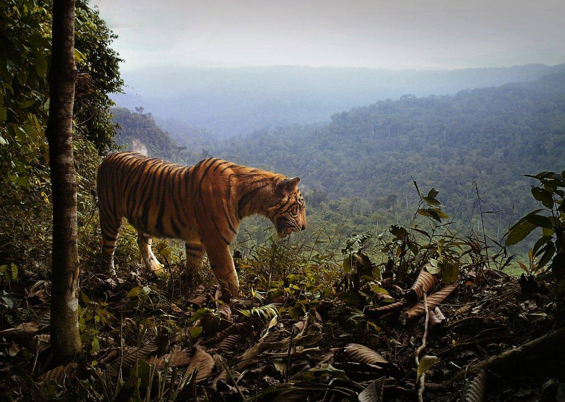 tigersin wild.jpg