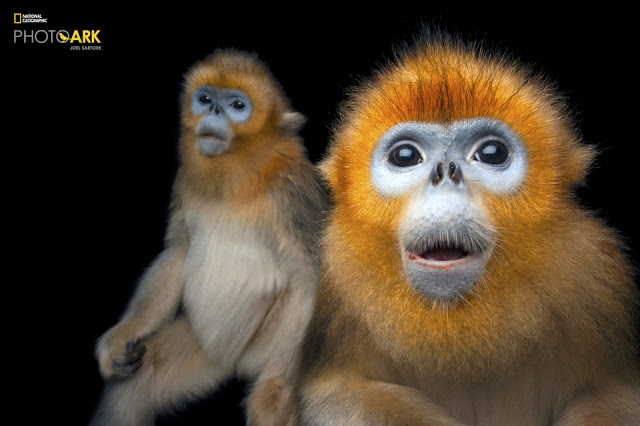 08_Golden Snub-nosed Monkey_ Rhinopithecus roxellana_Joel_Sartore_NationalGeographic_PhotoArk_11533040.jpg