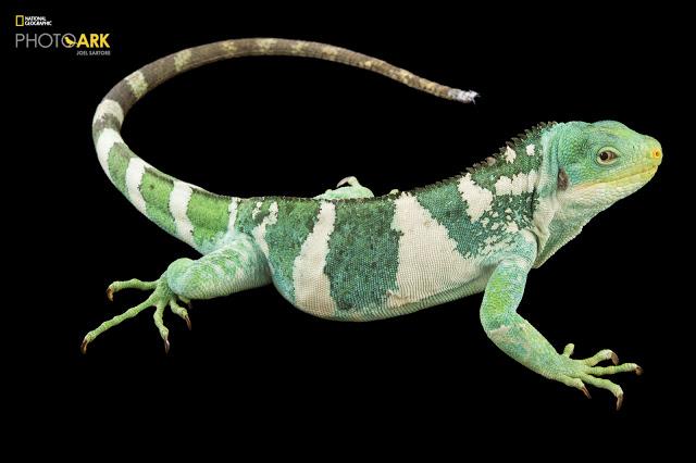 24_Fiji Island Banded Iguana_Brachylophus fasciatus_Joel_Sartore_NationalGeographic_PhotoArk_12353212.jpg