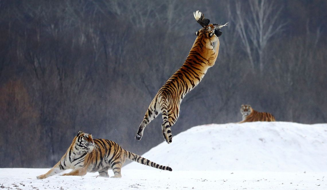 TIGERS-CHASING-BIRDS-IN-SNOW.jpg
