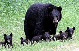 black bears (1).jpg