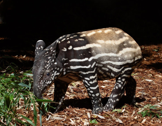 Screenshot_2020-05-03 Malayan tapir Ulan is expecting her first baby this summer .png